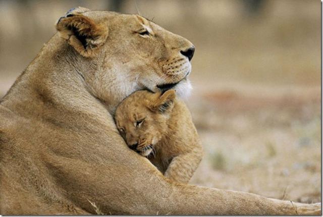 Нажмите на изображение для увеличения Название: baby_lion_with_mother_02_3.jpg Просмотров: 55 Размер:39,4 Кб ID:20871