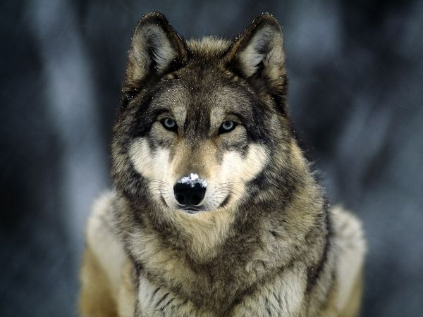 Нажмите на изображение для увеличения Название: grey-wolf_565_600x450.jpg Просмотров: 37 Размер:42,2 Кб ID:50765