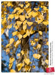 Нажмите на изображение для увеличения Название: березы осенью.jpg Просмотров: 35 Размер:14,4 Кб ID:51429