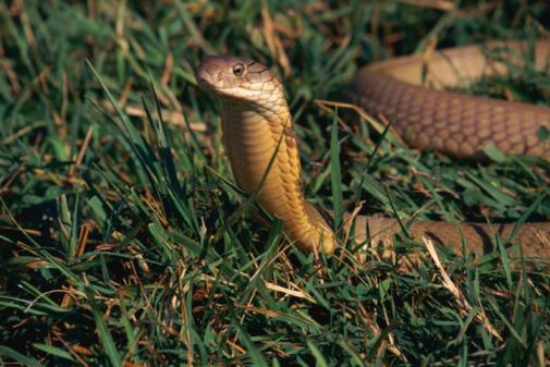 Нажмите на изображение для увеличения Название: king-cobra1.jpg Просмотров: 16 Размер:50,9 Кб ID:51774