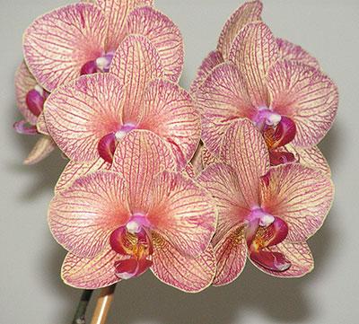 Нажмите на изображение для увеличения Название: phalaenopsis2.jpg Просмотров: 88 Размер:59,1 Кб ID:51831