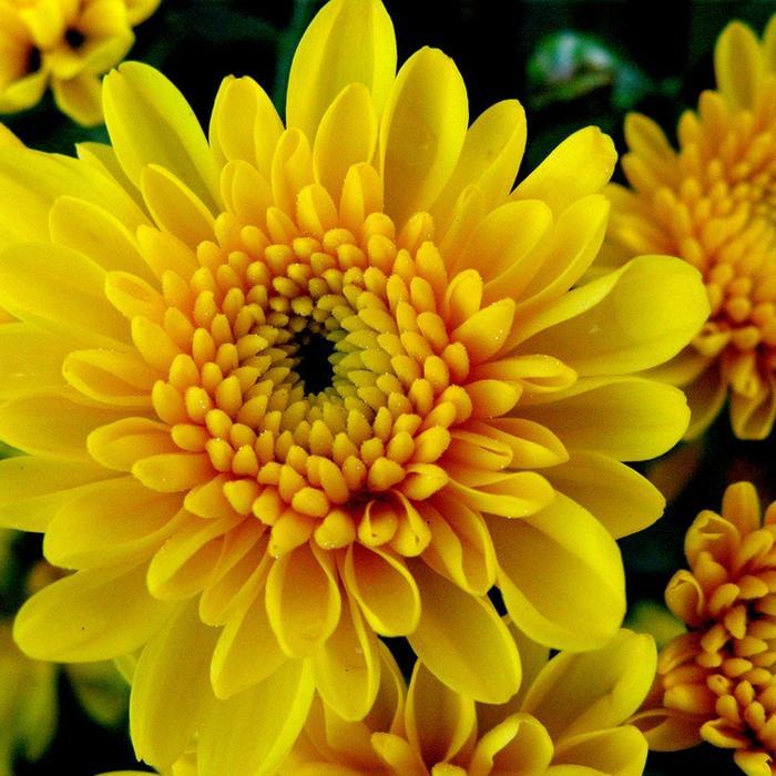 Нажмите на изображение для увеличения Название: Chrysanthemum.jpg Просмотров: 16 Размер:71,5 Кб ID:52189