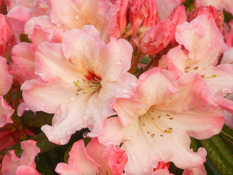 Нажмите на изображение для увеличения Название: Rhododendron_Blossoms.jpg Просмотров: 20 Размер:61,9 Кб ID:52513