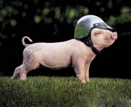 Нажмите на изображение для увеличения Название: mini-pigs-funny-pictures-02.jpg Просмотров: 42 Размер:31,1 Кб ID:52654