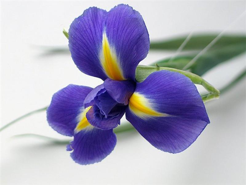 Нажмите на изображение для увеличения Название: iris2.jpg Просмотров: 50 Размер:71,2 Кб ID:52900