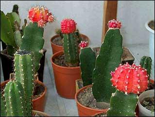 Нажмите на изображение для увеличения Название: kaktus0042.jpg Просмотров: 69 Размер:14,3 Кб ID:53259