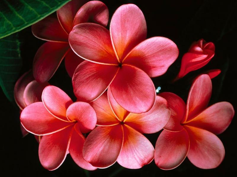 Нажмите на изображение для увеличения Название: Pink_Plumerias.jpg Просмотров: 17 Размер:55,2 Кб ID:53288