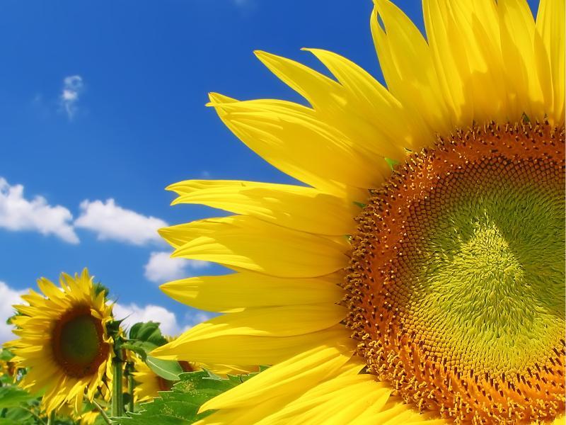 Нажмите на изображение для увеличения Название: Sunflower.jpg Просмотров: 11 Размер:78,3 Кб ID:53359