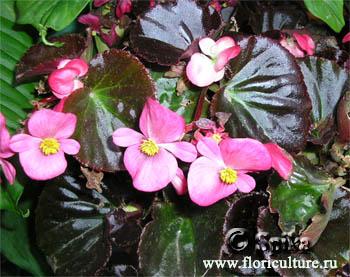 Нажмите на изображение для увеличения Название: Begonia.JPG Просмотров: 25 Размер:72,6 Кб ID:53379