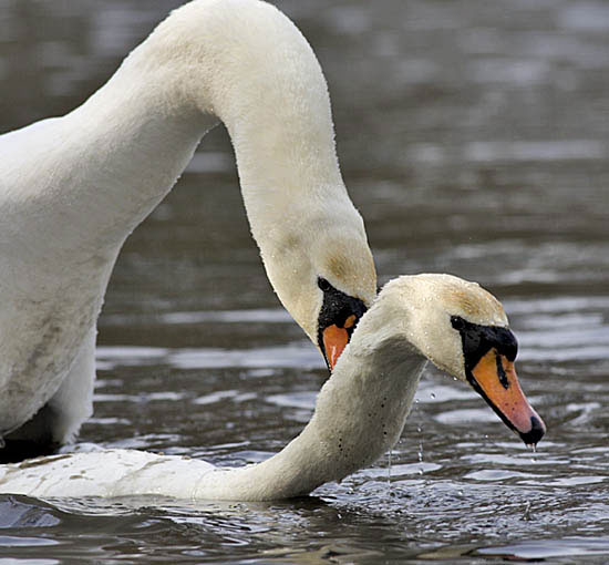 Нажмите на изображение для увеличения Название: Mute-Swans-mating.jpg Просмотров: 33 Размер:49,4 Кб ID:53541