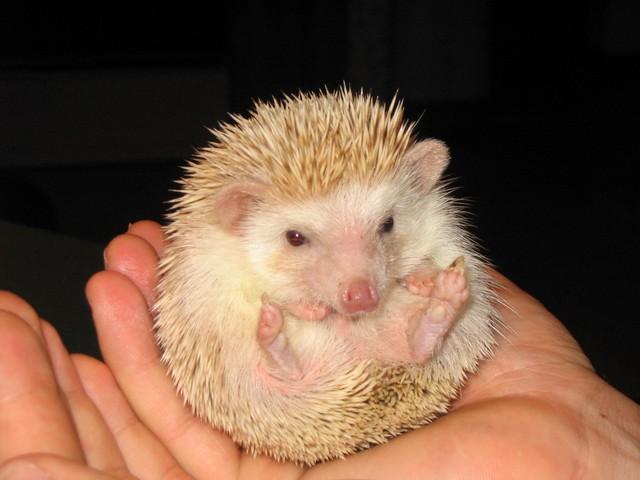 Нажмите на изображение для увеличения Название: hedgehogs_003.sized.jpg Просмотров: 16 Размер:59,2 Кб ID:53592