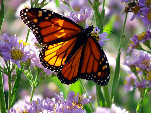Нажмите на изображение для увеличения Название: monarch-butterfly-on-flowers.jpg Просмотров: 14 Размер:151,5 Кб ID:55488