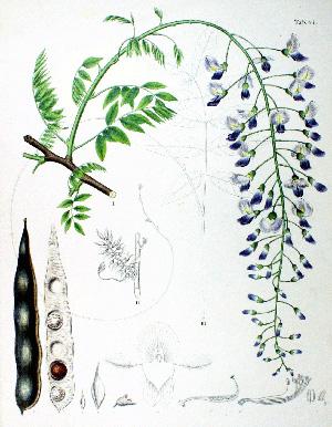 Нажмите на изображение для увеличения Название: Wisteria_sinensis2.jpg Просмотров: 38 Размер:74,0 Кб ID:55779
