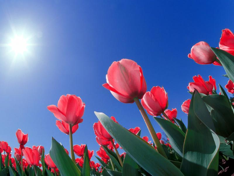 Нажмите на изображение для увеличения Название: Red_Tulips,_Cincinnati,_Ohio.jpg Просмотров: 24 Размер:45,7 Кб ID:56627