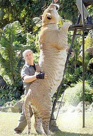 Нажмите на изображение для увеличения Название: liger.jpg Просмотров: 23 Размер:60,8 Кб ID:56824
