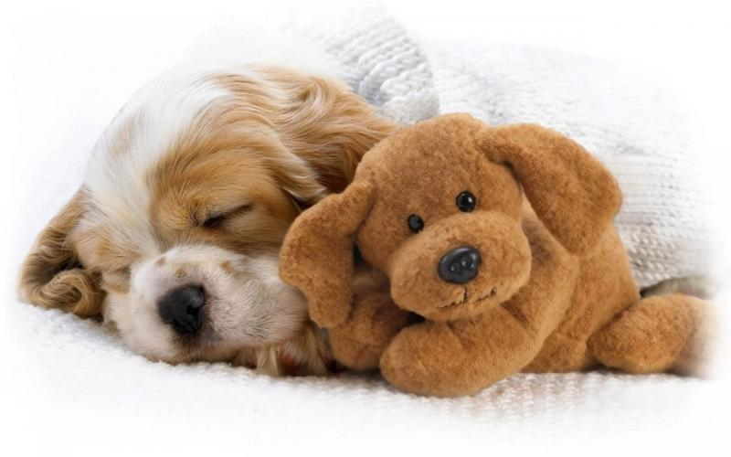 Нажмите на изображение для увеличения Название: Animals_Dogs_Puppy_and_toy_032372_.jpg Просмотров: 27 Размер:41,4 Кб ID:56831