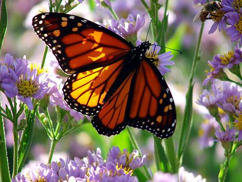 Нажмите на изображение для увеличения Название: monarch-butterfly-on-flowers.jpg Просмотров: 16 Размер:151,5 Кб ID:59341