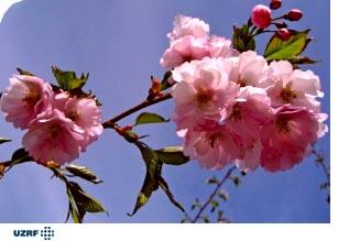 Нажмите на изображение для увеличения Название: sakura_UZRF.jpg Просмотров: 19 Размер:37,5 Кб ID:62472