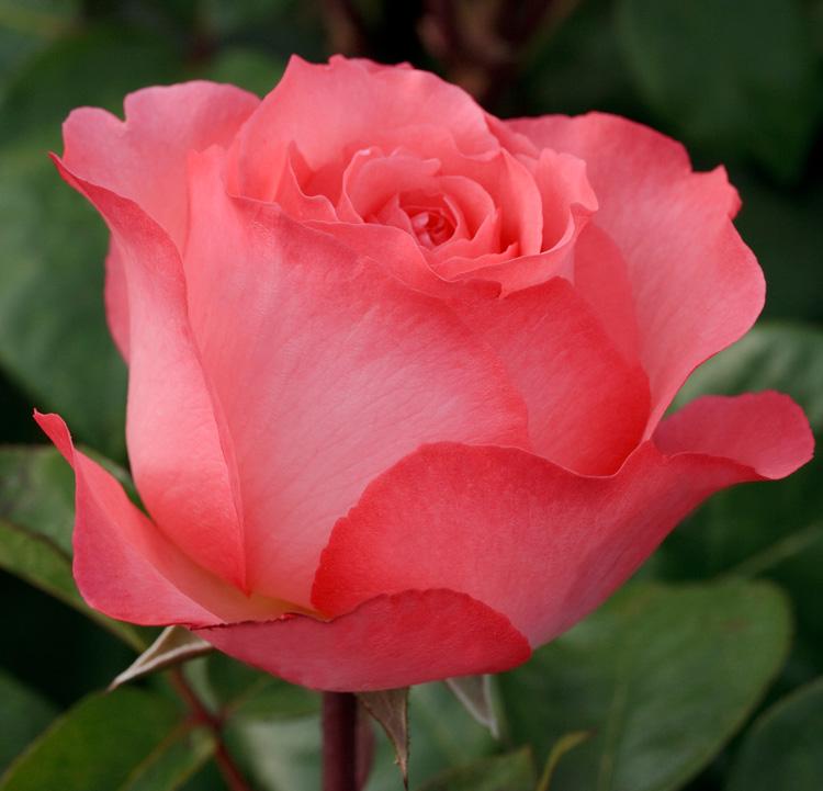 Нажмите на изображение для увеличения Название: rose.jpg Просмотров: 9 Размер:133,8 Кб ID:64416
