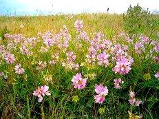 Нажмите на изображение для увеличения Название: цветы Асе.jpeg Просмотров: 7 Размер:20,7 Кб ID:66363