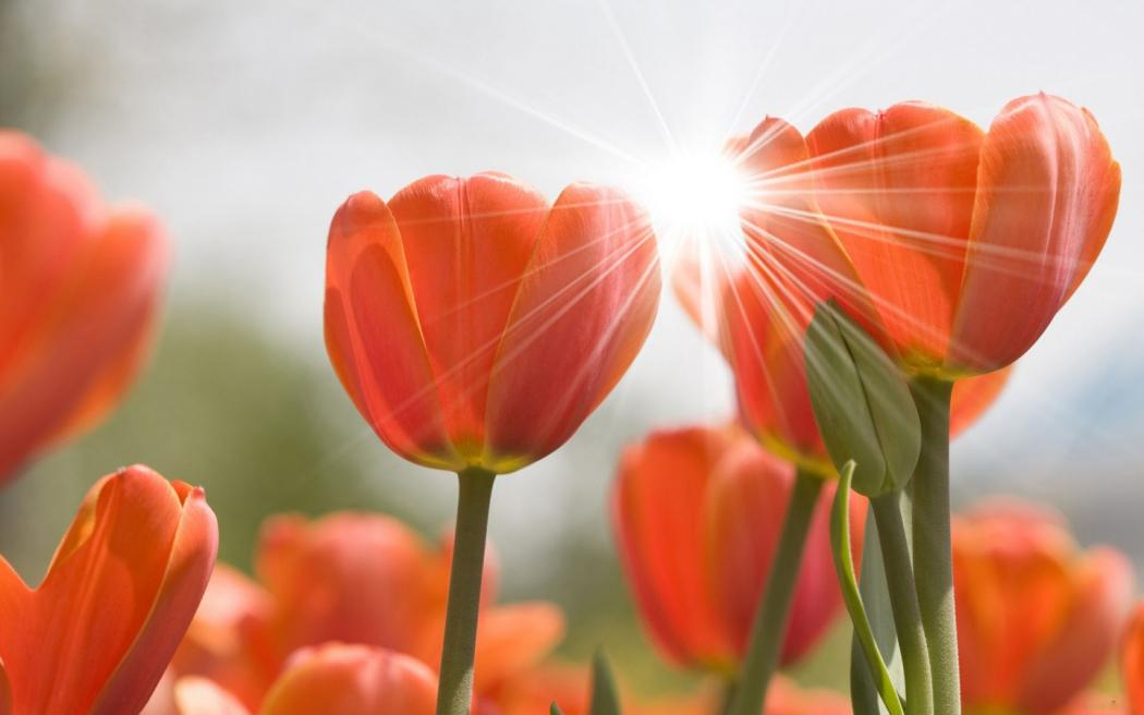 Нажмите на изображение для увеличения Название: tulips-9.jpg Просмотров: 6 Размер:49,8 Кб ID:68147