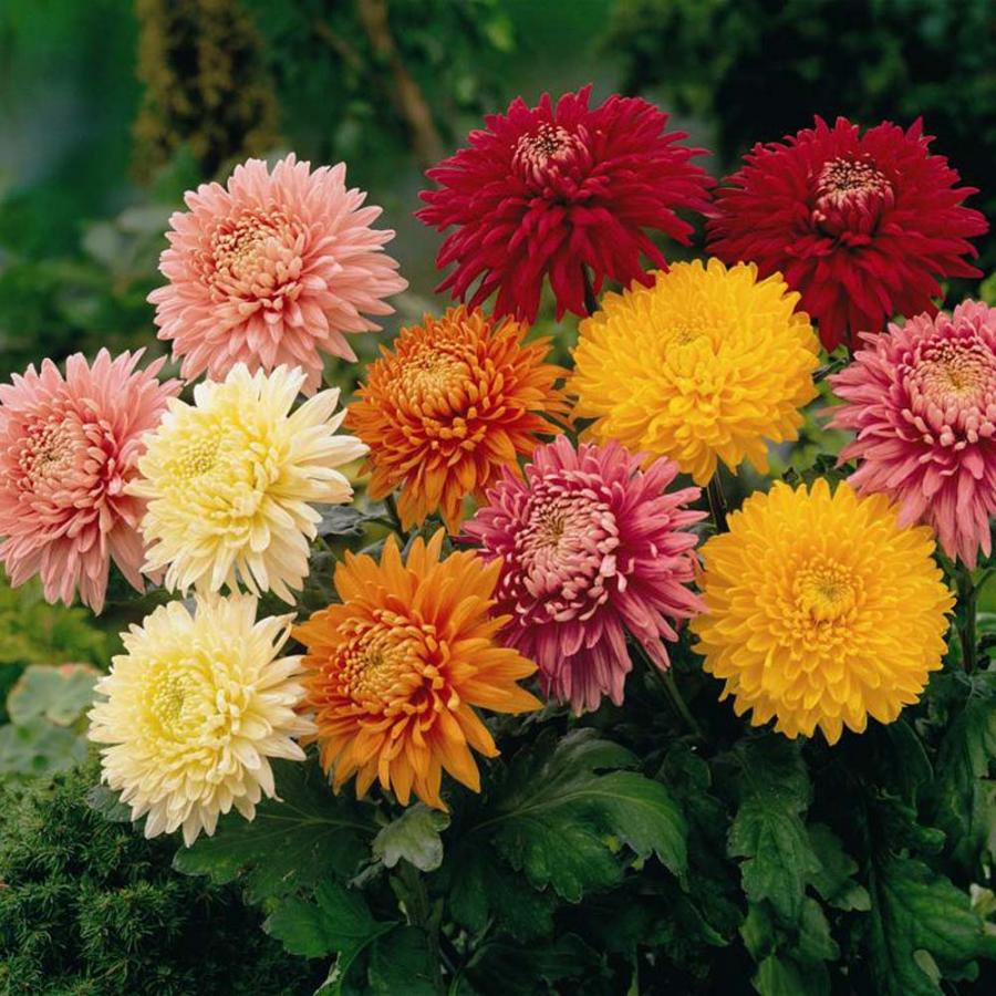 Нажмите на изображение для увеличения Название: chrysanthemumReal.jpg Просмотров: 6 Размер:131,9 Кб ID:68772