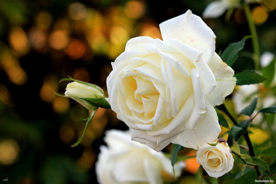 Нажмите на изображение для увеличения Название: роза.jpg Просмотров: 1 Размер:65,9 Кб ID:71628