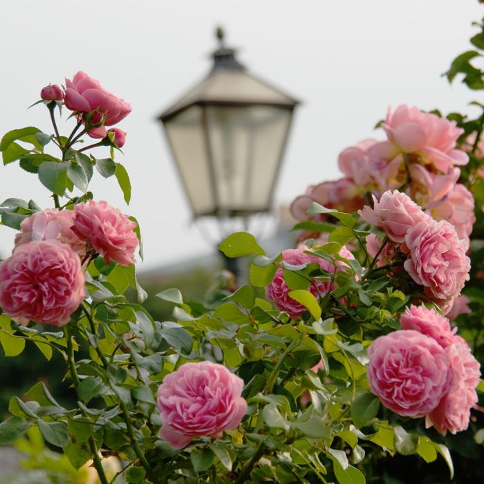 Нажмите на изображение для увеличения Название: розы.jpg Просмотров: 3 Размер:183,5 Кб ID:72122
