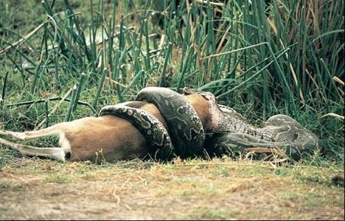 Нажмите на изображение для увеличения Название: snake-eating-deer.jpg Просмотров: 15 Размер:92,8 Кб ID:73054