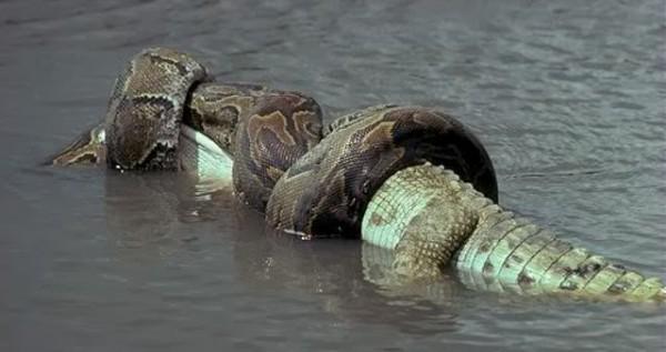 Нажмите на изображение для увеличения Название: saltwater-crocodile-vs-green-anaconda-600x317.jpg Просмотров: 14 Размер:43,4 Кб ID:73057