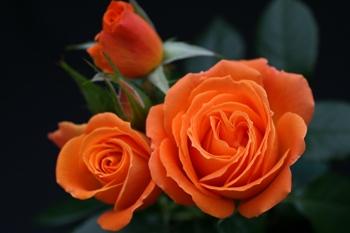 Нажмите на изображение для увеличения Название: розы оранж.jpg Просмотров: 4 Размер:38,4 Кб ID:74558