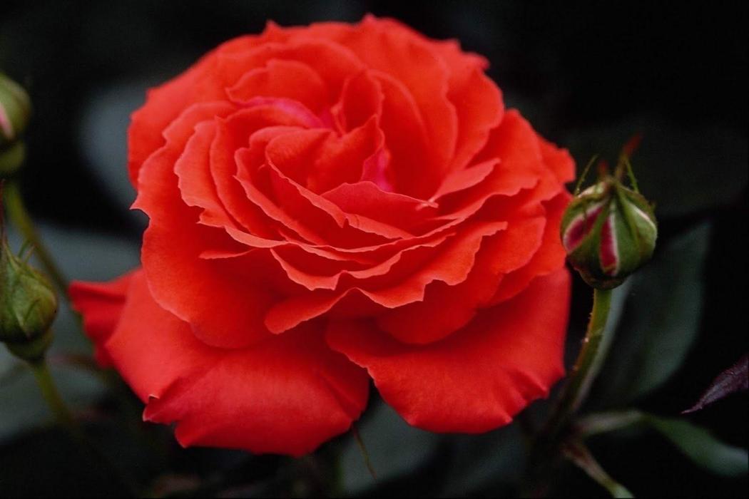 Нажмите на изображение для увеличения Название: 189472_Beautiful-Rose-Flowers-Pictures-Wallpapers_1600x1067.jpg Просмотров: 6 Размер:52,6 Кб ID:75227