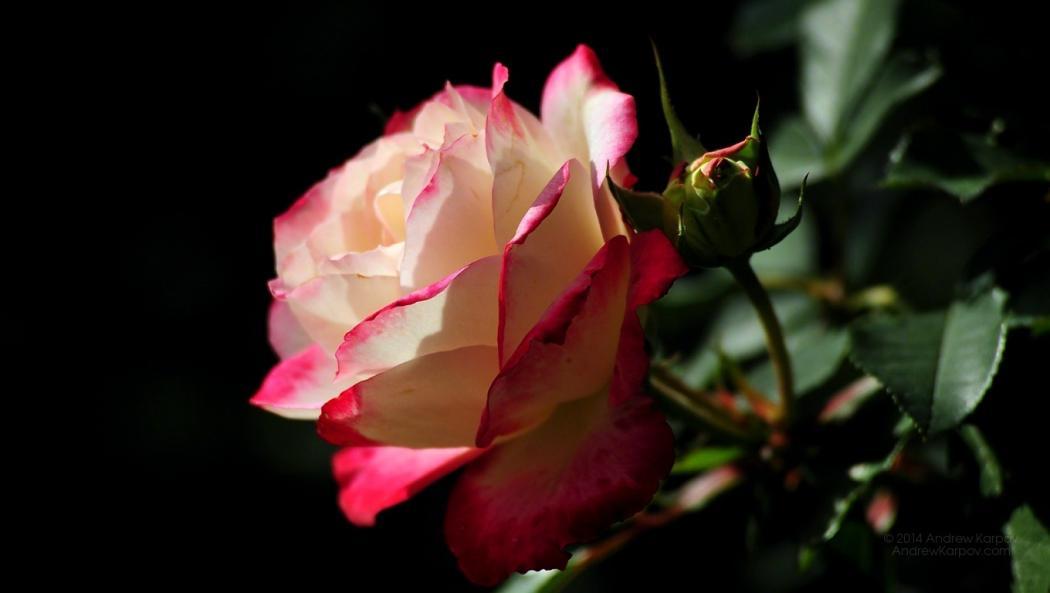 Нажмите на изображение для увеличения Название: Красивые-цветы-розы-обои-фотки-692.jpg Просмотров: 7 Размер:39,6 Кб ID:75228