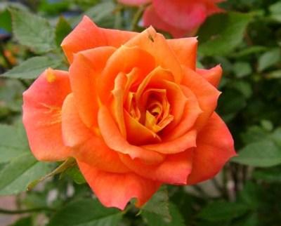 Нажмите на изображение для увеличения Название: orange-rose.jpg Просмотров: 8 Размер:31,6 Кб ID:78483