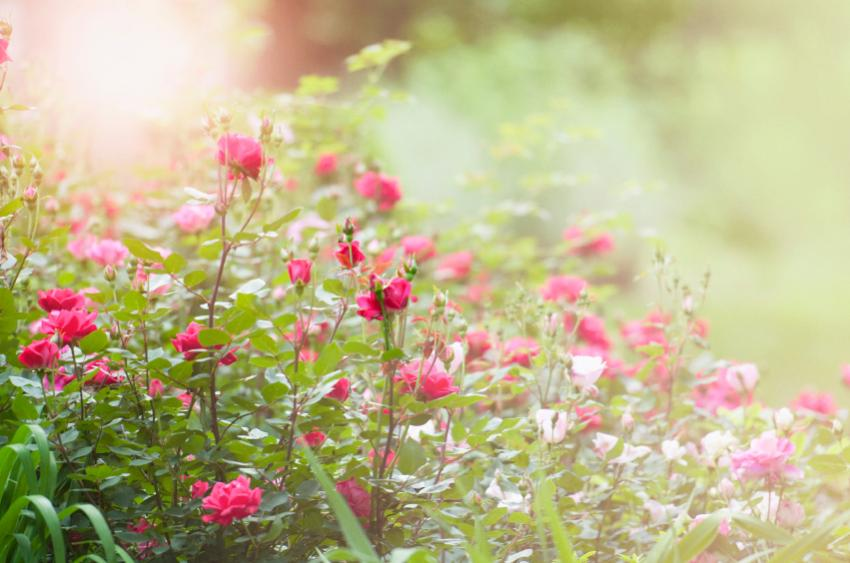 Нажмите на изображение для увеличения Название: iStock_Rose Garden.jpg Просмотров: 8 Размер:63,5 Кб ID:78734
