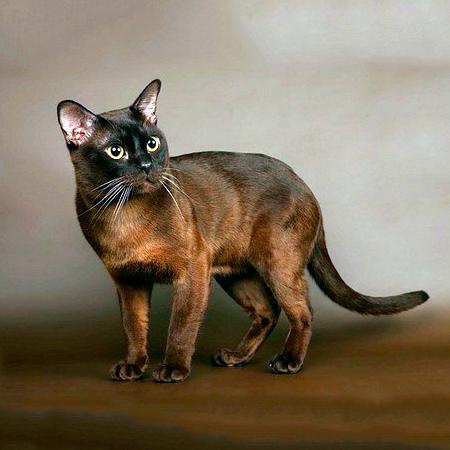 Нажмите на изображение для увеличения Название: burmanskaya_cat.jpg Просмотров: 7 Размер:154,8 Кб ID:79405