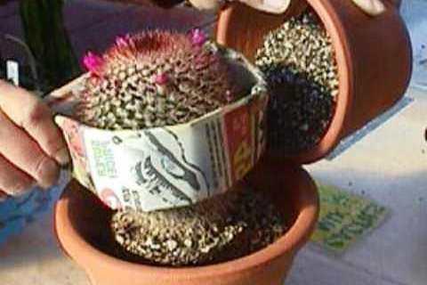 Нажмите на изображение для увеличения Название: peresadka-kaktusa-4.jpg Просмотров: 9 Размер:19,6 Кб ID:79939
