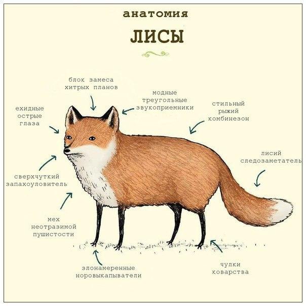 Нажмите на изображение для увеличения Название: анатомия лисы.jpg Просмотров: 45 Размер:60,3 Кб ID:80200